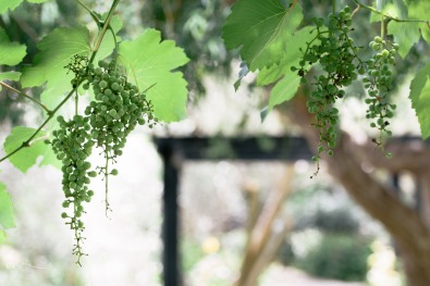 grapes_san_antonio | Not exactly napa, but still pretty_by Eileen Critchley