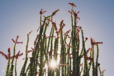 Ocotillo_in_bloom_sunburst_arizona | Ocotillo in bloom_by Eileen Critchley