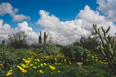 saguaro_and_california_poppy | Arizona Meadow_by Eileen Critchley