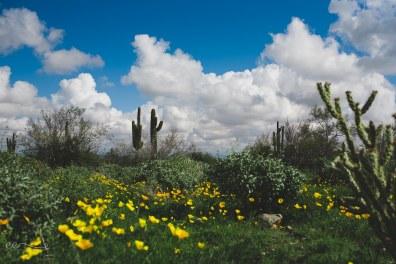 saguaro_and_california_poppy | Arizona Meadow_by Eileen Critchley