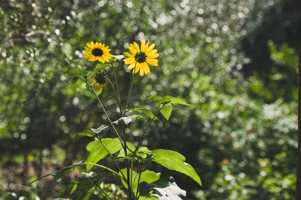 sunflower_and_bokeh_san_antonio_botanical_garden | facing the sun_by Eileen Critchley