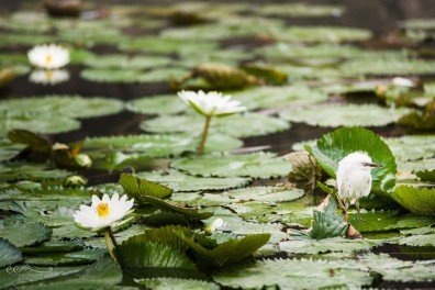 white_baby_water_bird_on_lilly_pads_with_white_flowers_in_water_san_antonio_brackenridge_park | One of these things is not like the others_click-Pro_daily_project_by Eileen Critchley