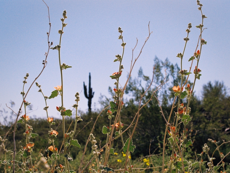 wildflowers and saguaro film- Kodak colorplus 200_by Eileen Critchley