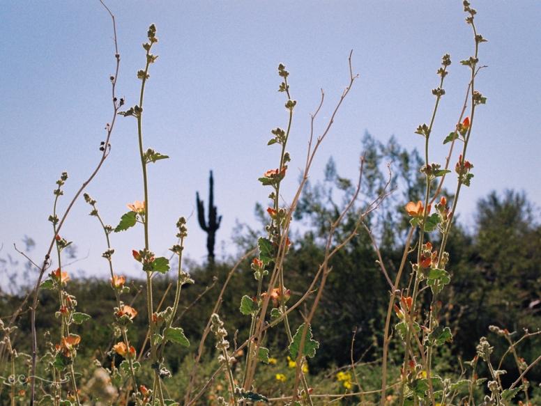 wildflowers and saguaro film- Kodak colorplus 200_by Eileen Critchley